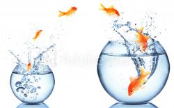 goldfish follow